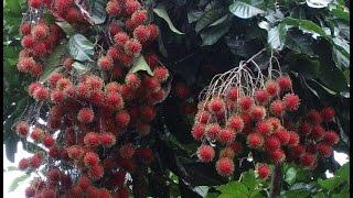 Rambutan tree with Fruits ( Nephelium lappaceum)