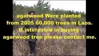 Agarwood in Laos Part 1