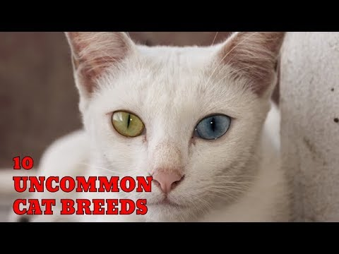 10 Uncommon Cat Breeds | Animals Unlimited | Sameer Gudhate