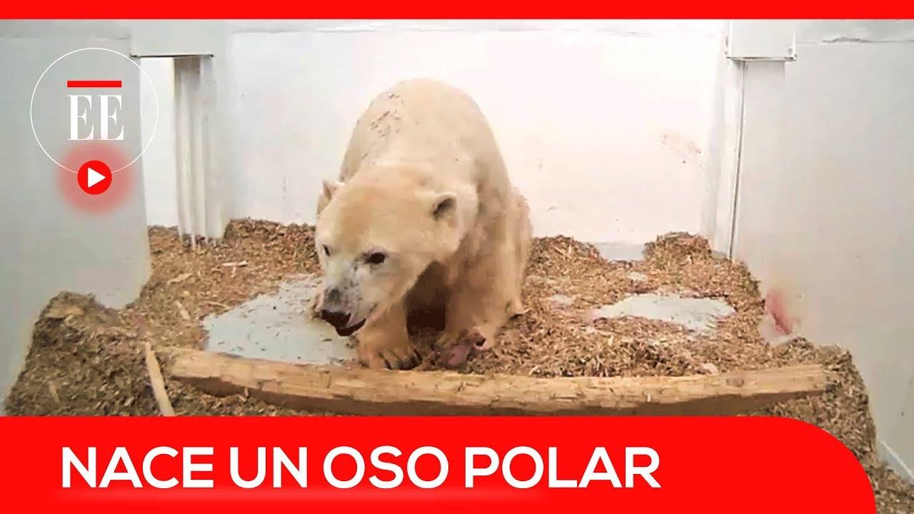 El Nacimiento De Un Oso Polar En El Zoológico Tierpark De Berlín El Espectador Youtube