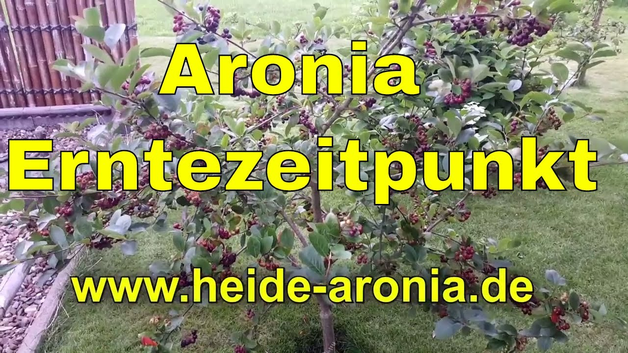wann kann ich aroniabeeren ernten wann ist der richtige erntezeitpunkt von aronia beeren youtube. Black Bedroom Furniture Sets. Home Design Ideas
