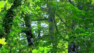 Spring of nature sounds scenery forest 5 woodpecker, wild birds Nature Sound