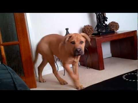 Mastweiler puppy (Bull Mastiff x Rottweiler)