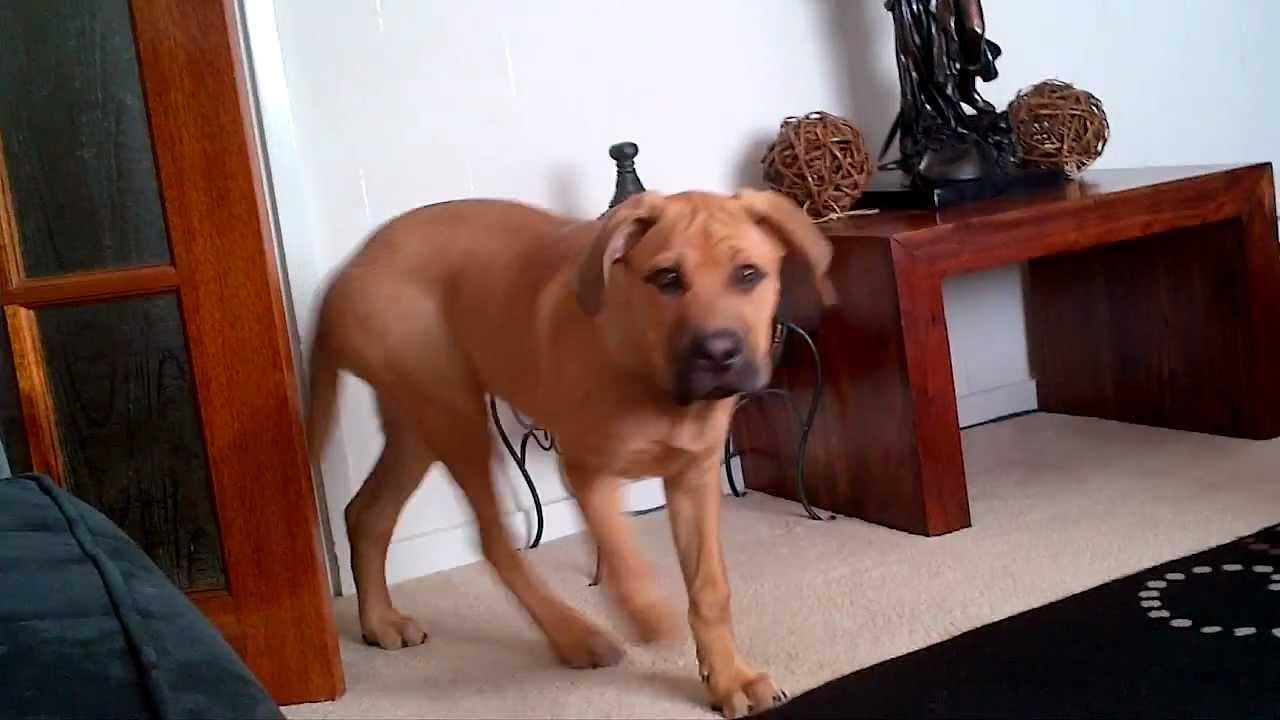 Mastweiler Puppy Bull Mastiff X Rottweiler Youtube