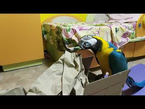 Попугай ара распаковывает посылку с мелом