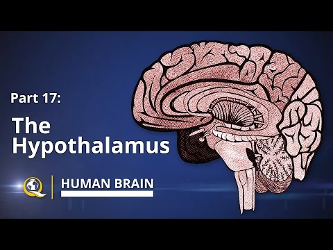 Hypothalamus - Human Brain Series - Part 17