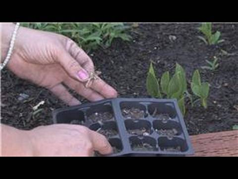 Flower Gardening : How To Grow Carnations From Seeds - Youtube