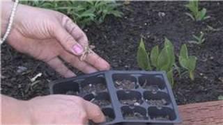 Flower Gardening How Grow Carnations Seeds