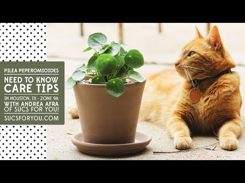 Pilea: Need to know care tips