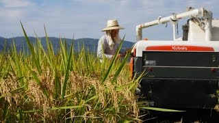 Di Jepang, Begini cara panen padi hingga menjadi beras