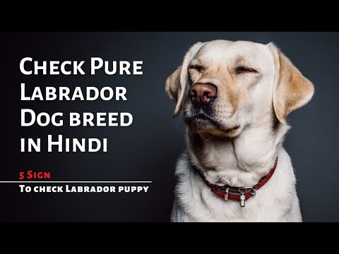 Check pure labrador breed ( how to check purity of labrdor breed )