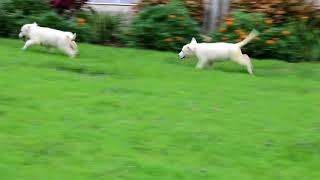 German Shepherd Puppies for Sale Melvin Stoltzfus