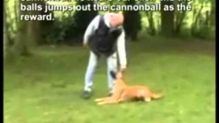 Cannonball.... Remote Controlled Dog Training