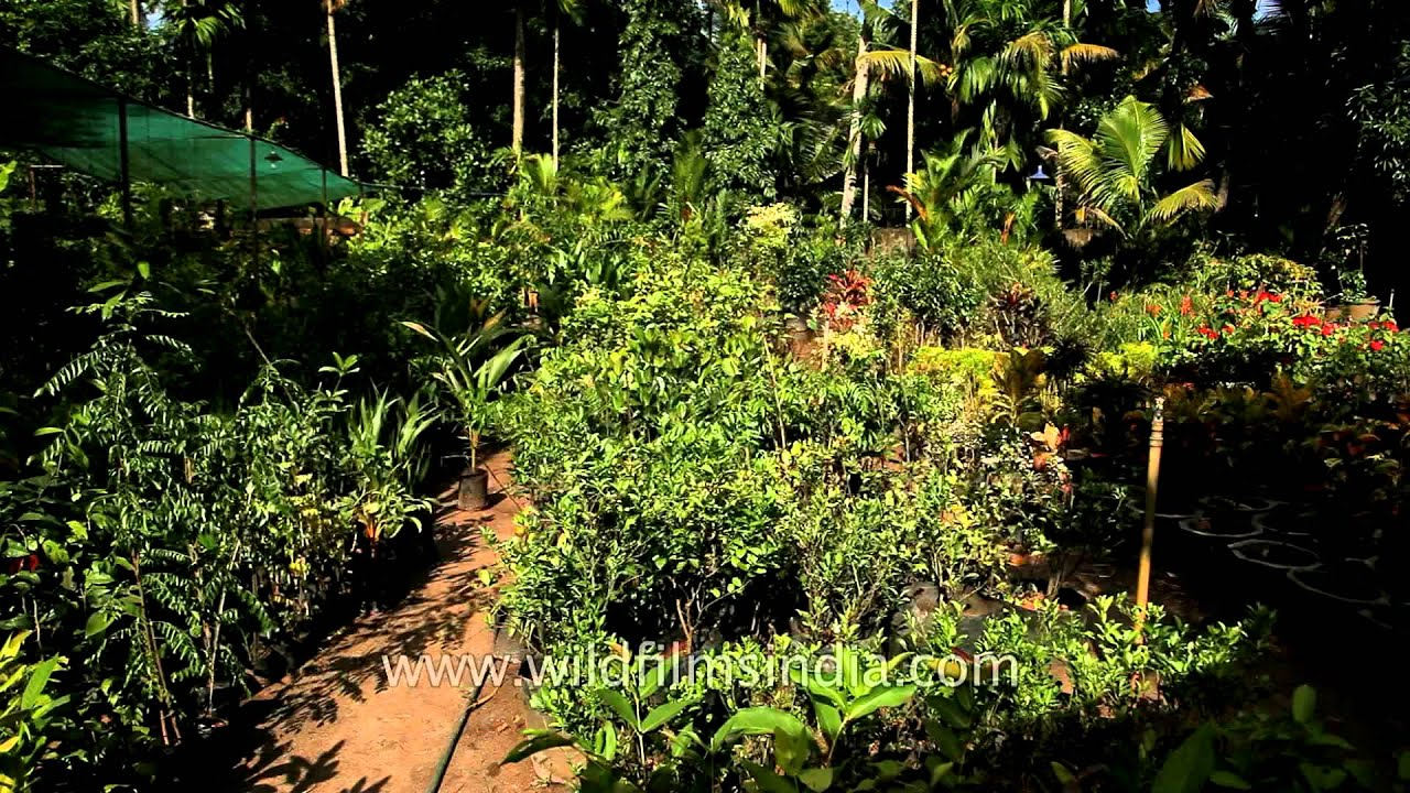 Black pepper plantation at a nursery in Kerala - YouTube