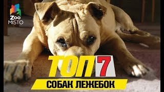 Tоп 7 собачек лежебок |Top 7 dogs lazy
