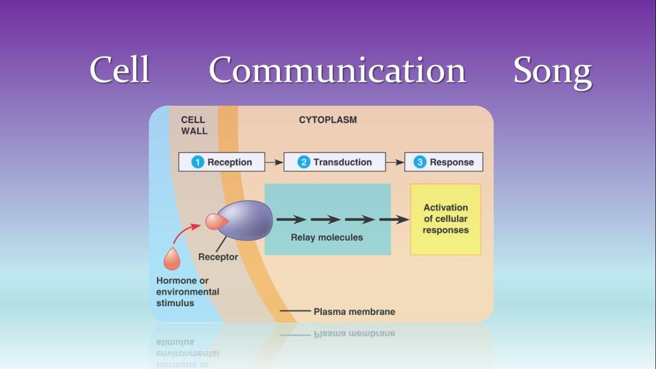 cell to cell communication Adhesion of like cells is a primary feature of the architecture of many tissues a sheet of absorptive epithelial cells, for instance, forms the lining of the small intestine, and sheets of hepatocytes two cells thick make up much of the liver.