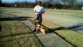 Training Walks- Proper Usage Of The Pinch Collar And Leash Handling Skills