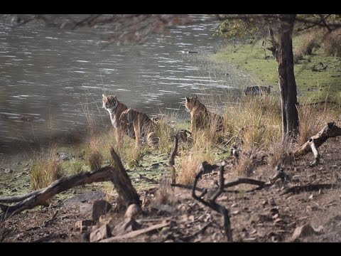 2015 Trip - Tiger Reserve - Rathambore National Park - Rajasthan, India