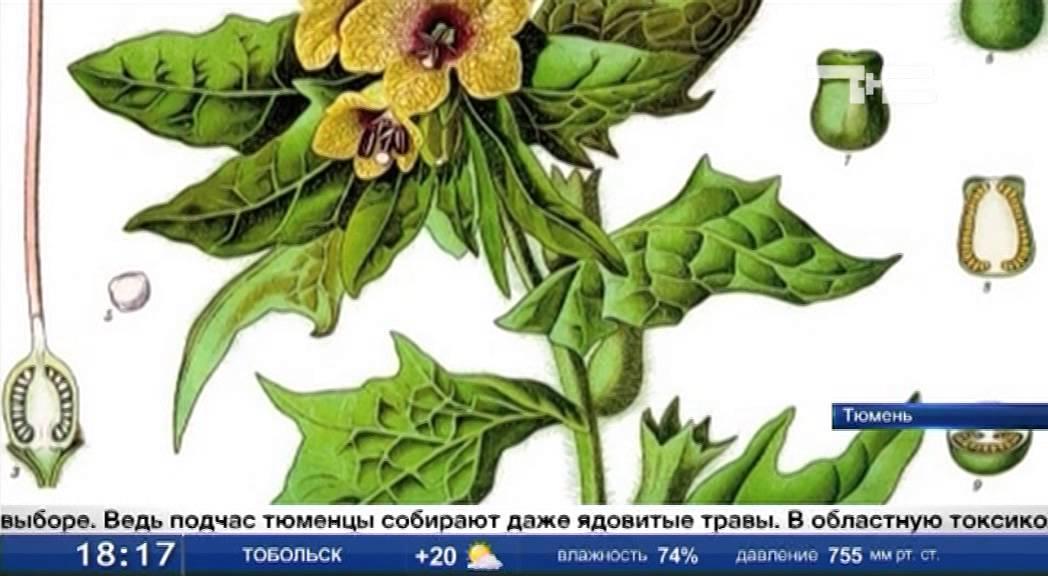 Измельчение и нарезка кореньев и лекарственных трав для медицины .