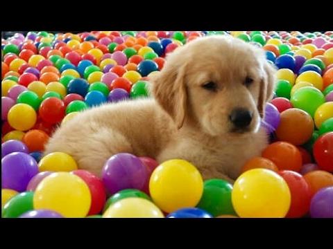 Dog's first bath! 8 week Golden Retriver Puppy - Trampoline Ball Pit