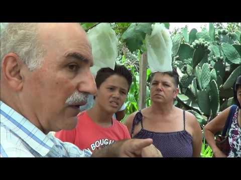 546 ) – MANEJO DAS UVAS :- NIAGARA ROSA, MARIA SEM SEMENTE E RALEAMENTO – SP SP     810a