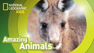Eastern Gray Kangaroo | Amazing Animals