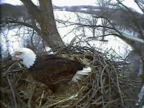 Bald eagle cam fish hatchery decorah ia 02 01 10 am for Iowa fish hatcheries