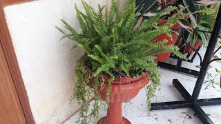 Care of Boston Fern Plant || Best House Plant for Greenery