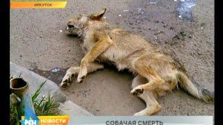 Эпидемия жестокости: в Иркутске массово убивают животных