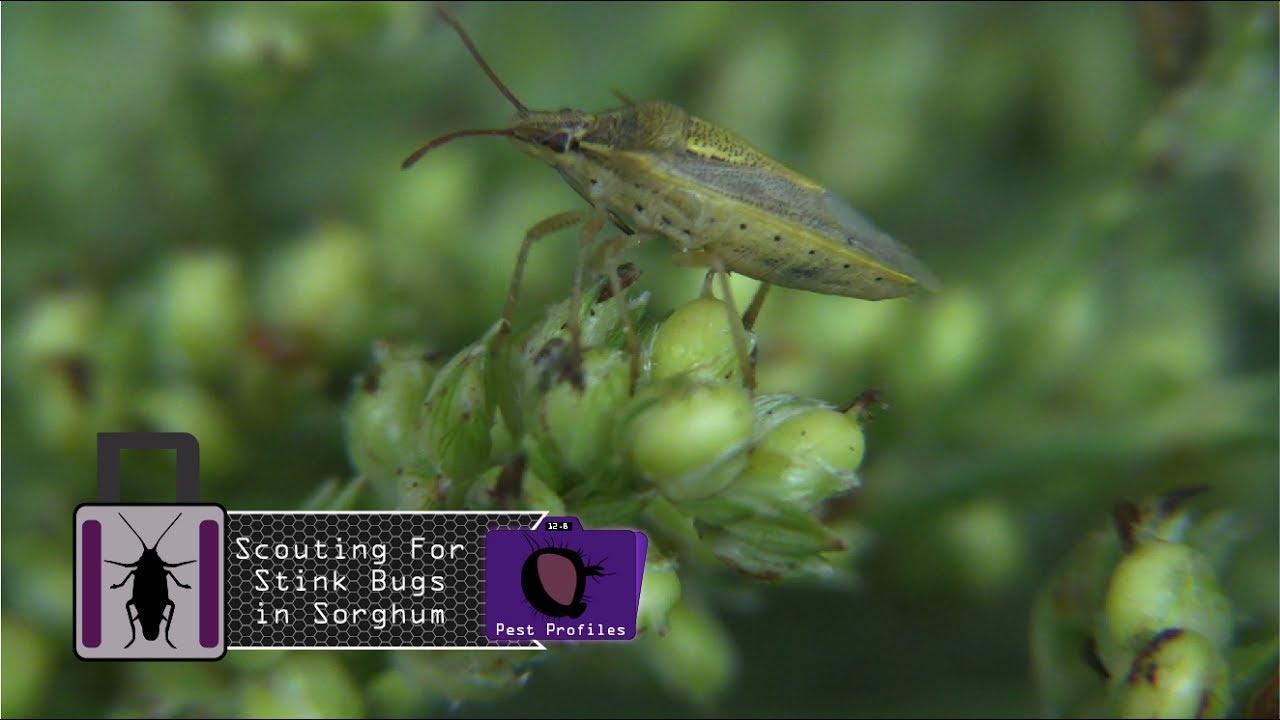 diagram of rice bug [ 1280 x 720 Pixel ]
