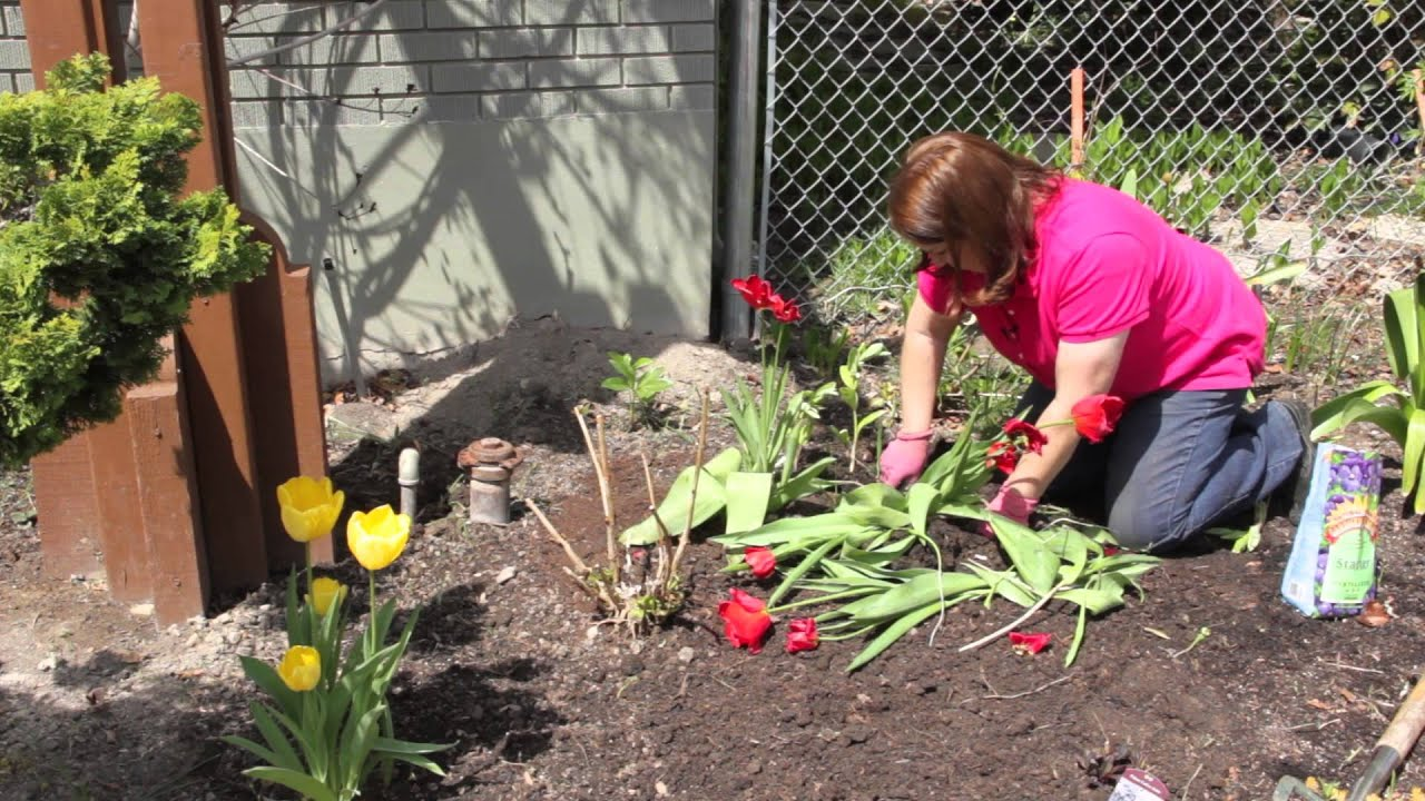 When to dig out tulips