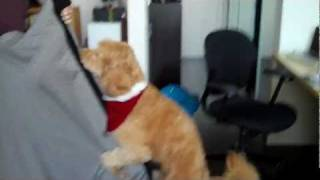 Dog Video - Goldendoodle Humping His Bed