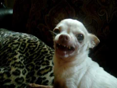 Evil Chihuahua Growling 2 Youtube
