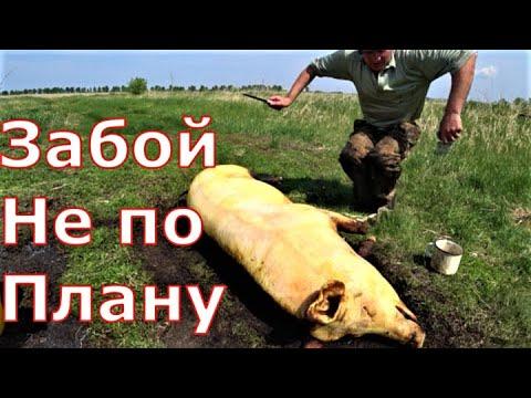 Видео: Забой свиньи / Перегон поросят / Недостроенный сарай