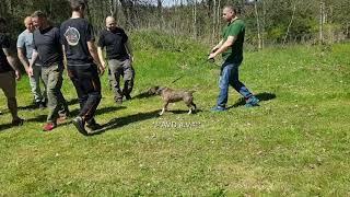 Miniatur Bullterrier /doing  AVD ZWP1 / protection work / Schutzhund / Prüfung