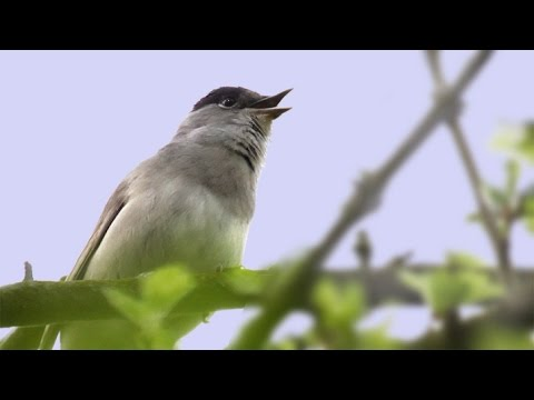 The Song & Calls of the Blackcap