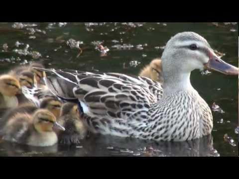 hqdefault - Pourquoi le canard ne sèche-t-il pas ses plumes ?