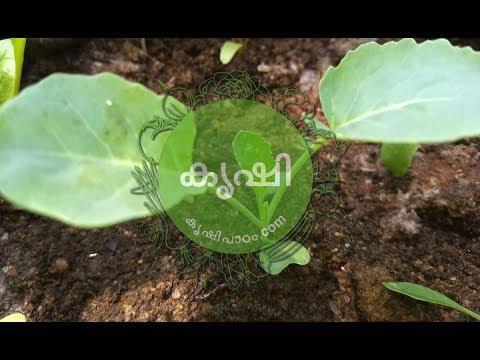 ബ്രക്കോളി കൃഷി ഭാഗം 2 - തൈകള് മാറ്റി നടുന്നു - Broccoli Cultivation Videos