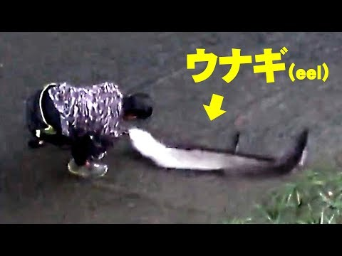 住宅地の水深30センチの川で超巨大ウナギを捕獲!【沖縄】【extreme fishing】