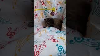 Персы котята