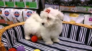 For Sale Maltese Terrier