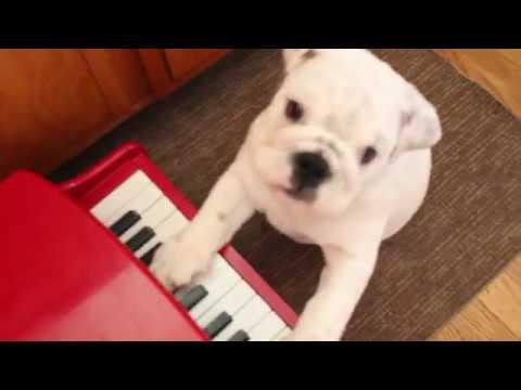 Bulldog Puppy Plays 'Happy Birthday' on Piano