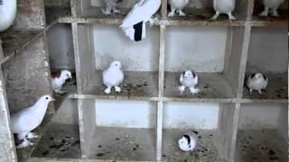 Бакинские бойные голуби Виталия Мирзоян