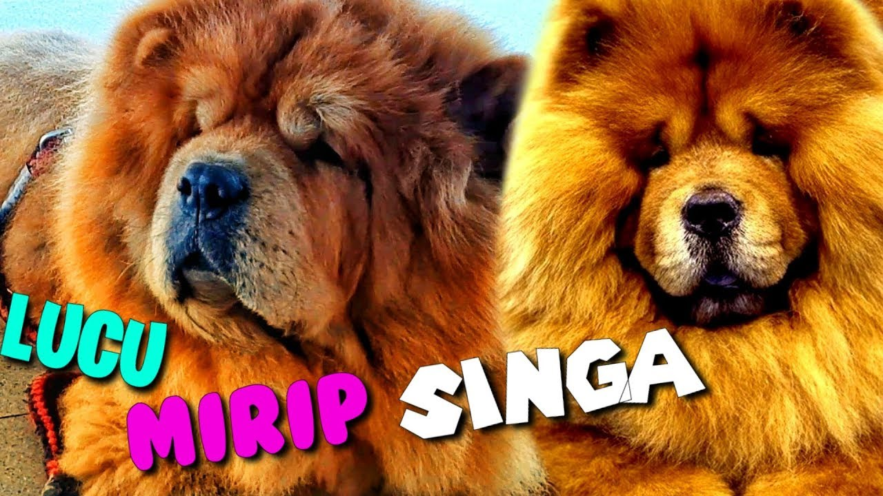 Anjing Chow Chow Lucu Mirip Singa Youtube