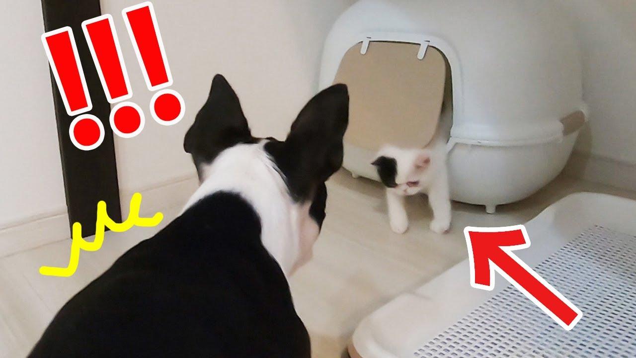 【神リアクション】子猫に驚かされる鼻ぺちゃ犬の反応が可愛すぎた