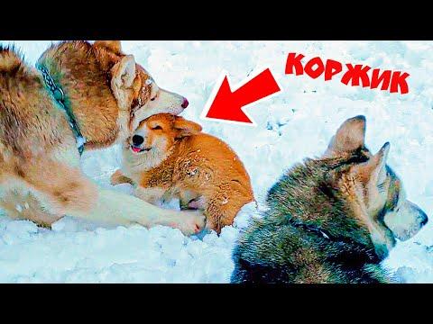 МЕНЯ СОЖРАЛИ ВОЛКИ!! (Корги Коржик) Говорящая собака