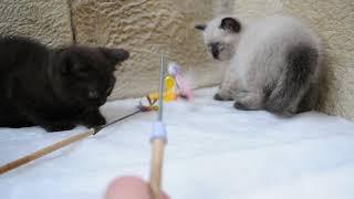 Британские котята сил поинт и шоколадный