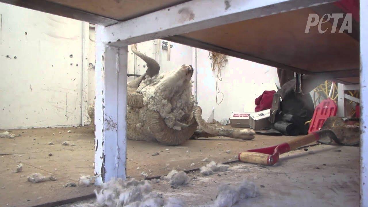 Sheep Killed, Left to Die for U.S. Wool