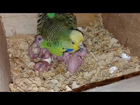 Parrots breeding progress || Mai breed kai lia kia keya daita ho PBI-Youtube