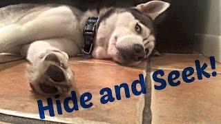 Husky Hide and Seek! | Pt.2